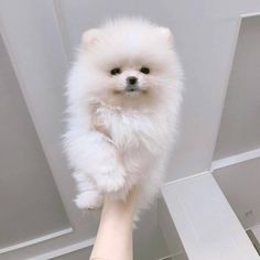 Best Pomeranian & Hoodies EVER in Pomeranian Dog Lovers Teacup Puppies, Cute Puppies, Dogs And Puppies, Doggies, Animals And Pets, Funny Animals, Puppy Grooming, Cute Pomeranian, Cute Little Animals