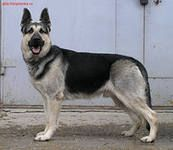East-European Shepherd - THIS is what a german shepherd should look like.  Nice straight back.