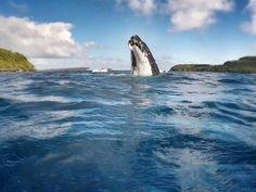 #humpback #whale, #Tahiti