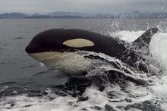 Orca whale watching off Vancouver Island in British Columbia in Canada.