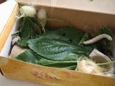 *Silk worms eating the mulberry leaves. Some have already started to weave their cocoons in a shoebox.