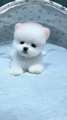 Cute Baby Dogs, Super Cute Puppies, Baby Animals Super Cute, Cute Small Dogs, Cute Little Puppies, Cute Dogs And Puppies, Cute Funny Animals, Cute White Puppies, Shitzu Puppies