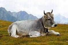 Eine Kuh liegt auf der Alm. Dies und noch viele hunderttausend andere Bilder gibt es komplett kostenlos, lizenzfrei und ohne Namensnennung.