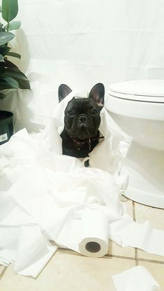 """I was just minding my own buisness""... ""then THIS happened!"", meet Arlo, the 'possibly guilty' French Bulldog."