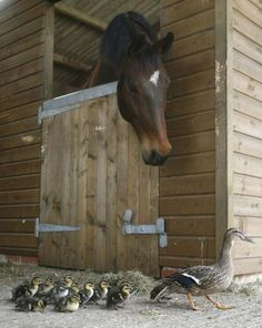 A horse takes an interest in this family of ducks passing by.