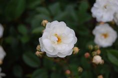 Katharina Zeimet (Polyantha) 1901. This compact little rose produces profusions of elegant white blooms borne in clusters. Grows up to 4 ft tall and makes a great container plant. Photo taken at the Atlanta Botanical Gardens by Kate Wrightson.