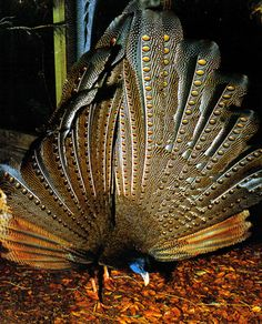 The GREAT ARGUS is native to the jungles of Borneo, Sumatra and the Malay Peninsula in southeast Asia. It is a brown-plumaged pheasant with a blue head and neck, rufous red upper breast, black hair-like feathers on crown and nape, and red legs. The male is among the largest of all pheasants. He measures 160–200 cm in total length, including a tail of 105–143 cm, and weighs 2.04–2.72 kg. It has very long tail feathers with many eyes. Argus is a hundred-eyed giant in Greek mythology.