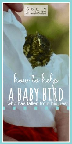 how to help a baby bird | nature journaling | nature studies |  nature studies | our Backyard Book | how to study nature with a child | how to make an heirloom educational book with a child | free printables | printable ID pages | homeschool | homestead | the simple life | SOULy rested in Christ | SoulyRested.com