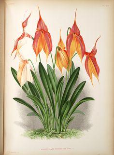 Jean Jules Linden Lindenia. Iconographie des Orchidées , 1885-1906; Masdevallia Veitchiana RCHB. F., Image number:SIL7-289-17