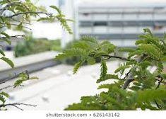 tamarindus – Vyhledávání Google Parsley, Herbs, Google, Plants, Food, Essen, Herb, Meals, Plant