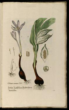 Knorr, G.W., Thesaurus rei herbariae hortensisque universalis, vol. 1: t. 198 (1750-1772)