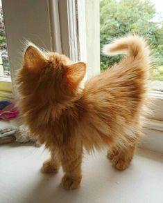 Whisky the cat on when i was a young boy tinycat kittenselfie kittenstagram gingertabby gingercatsrule popcatsculture kittenboy kittenlovers catbreeds Fluffy Kittens, Cute Cats And Kittens, I Love Cats, Crazy Cats, Kittens Cutest, Fluffy Cat, Ginger Kitten, Ginger Cats, Cute Cartoon Animals