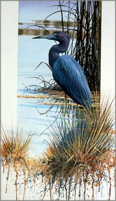 Luke Buck - Little Blue Heron (I thought of your and you seeing one - you can discard after seeing)