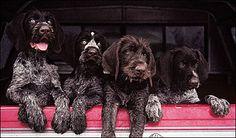 deutsch drahthaar, true german wirehair German Wirehaired Pointer Puppy, Lakeland Terrier, Pointer Puppies, Horses And Dogs, Large Dog Breeds, Hunting Dogs, Dog Behavior, Mans Best Friend, Dog Pictures