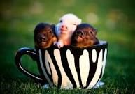 Tea cup Pigs are the cutest! Who WOULDN'T want a piggy that stayed a piglet for its entire life! Cute Baby Pigs, Cute Piglets, Tiny Pigs, Pet Pigs, Dwarf Pig, Teacup Piglets, Mini Teacup Pigs, Teacup Animals, Micro Mini Pig
