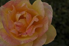 Painted orange and yellow rose