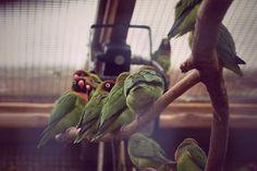 Love Birds at Marwell Zoo Marwell Zoo, Love Birds, Parrot, Animals, Parrot Bird, Animales, Animaux, Animal, Animais