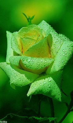 Roses are the popular, most beautiful flowers that women are mad to breath and see pictures of roses, red roses are a symbol of love and romance. Beautiful Flowers Wallpapers, Beautiful Rose Flowers, Rare Flowers, Flowers Nature, Exotic Flowers, Green Flowers, Amazing Flowers, Orchid Flowers, Nature Plants