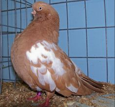English Short-faced Tumbler; English short-faced tumbler is one of Britain's oldest fancy pigeon breed. I am trying to describe both Selfs and Baldheads; the Selfs are in all colors; Reds, Yellows, Golden Duns, Kites, Red/Yellow Agates, Deroys,...