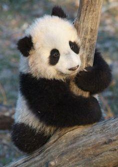 baby pictures of pandas | Baby - Panda | *Wild-Life*
