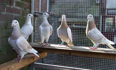 Racing Pigeon Lofts, Pigeon Pictures, Homing Pigeons, Pigeon Breeds, Best Stocks, Pet Birds, Animals And Pets, Birds, Pets