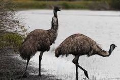 Image result for australian wild birds