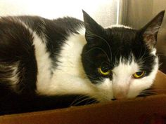 TO BE DESTROYED 10/20/13 Manhattan Center  My name is CALI. My Animal ID # is A0981269. I am a female black and white amer curl lh mix. The shelter thinks I am about 8 YEARS old.  I came in the shelter as a STRAY on 10/06/2013 from NY 10471, owner surrender reason stated was STRAY. I came in with Group/Litter #K13-155878. https://www.facebook.com/photo.php?fbid=682967358381766&set=a.576546742357162.1073741827.155925874419253&type=3&theater