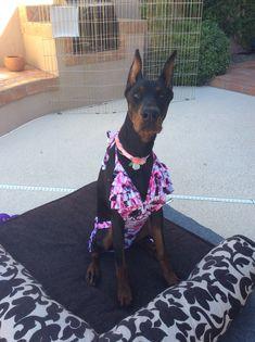 Doberman Dogs, Dobermans, Doberman Pinscher, Dobby, Beautiful Dogs, Funny Dogs, Heart, Cute Dogs, Doberman Pinscher Dog