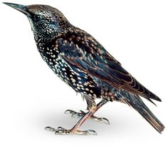 European Starling: 100 birds were released in New York's Central Park in the early to introduce into the US all of the animals mentioned in the works of William Shakespeare, now they are very common across the U. and Mexico. Zoo Art, Big Friends, Ghost In The Machine, A Level Art, Backyard Birds, Animals Of The World, Autumn Trees, Bird Watching, Bird Art