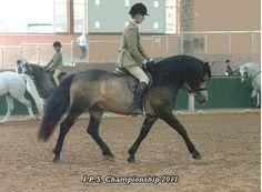 Connemara Stallion Shanna Larry