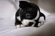 boston terrier!! Awhh <3 =) I want one!!