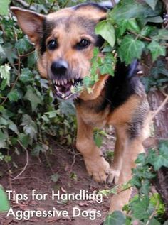 Dog Training Problems: How to handle aggressive dogs |DogVills.com  Aggression in dogs is one of the most serious and unavoidable dog training problems that we encounter as dog owners. An aggressive dog is something that you simply can't ignore…particularly with the larger or more aggressive breeds.