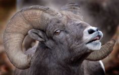 Large male big horn sheep in rut in the lower Rock Creek Valley of Montana.  Need Images for your website, social media campaigns, advertisements and more? Call Savard Hospitality Consulting 406-825-5300 http://www.savardhospitalityconsulting.com