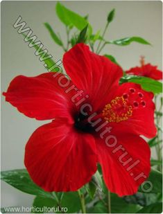 Hibiscus, Places To Visit, Home And Garden, Gardening, Floral, Interiors, Lawn And Garden, Flowers, Flower