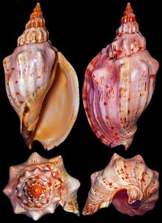 Volutidae~~Festilyria festiva A genus of sea snails, marine gastropod mollusks . Shell Game, Seashell Art, Starfish, Seashell Crafts, Shell Collection, Snail Shell, Shell Beach, Nautilus, Ocean Life