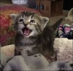 Cute Kitten GIF • Adorable Kitty crying meowing loudly after her lunch she wants more food