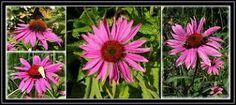 La equinacea es una hierba de la cual existen diferentes especies, de estas son tres las que poseen propiedades medicinales. A estas tres especies se las conoce con los nombres científicos: Equinacea purpurea. Echinacea pallida. Echinacea angustifolia