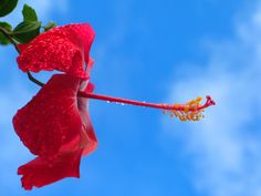 Gorgeous plumeria sighted on #maui today! www.menehunemaps.com