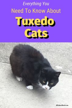 What are tuxedo cats and how did they get their name? Discover all about these unique kitties and what makes them so special #whataretuxedocats #tuxedocat #tuxedocatfacts #catbreeds Black Cat Breeds, Interesting Facts About Yourself, Cat Body, Tuxedo Cats, Cat Behavior, Animal Projects, Cat Facts, White Cats, Diy Stuffed Animals