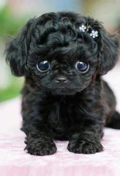 Teacup Puppies are soooooooooooooooooooooo cute Little Puppies, Little Dogs, Cute Puppies, Cute Dogs, Dogs And Puppies, Doggies, Cute Little Animals, Cute Funny Animals, Animal Pictures