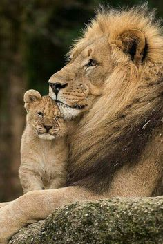 Lion with cub baby ❤️