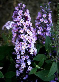 These colorful flowering shrubs are easy to care for and a favorite of gardeners and butterflies alike.
