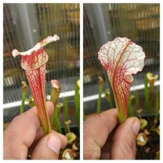 Awesome polyhybrid grown from seeds made by @jerry_addingtons_sarracenia #wintercantstopme #sarracenia #pitcherplants #pitcherplantsofinstagram #pitcherplant #carnivorousplantsofinstagram #carnivorousbog #carnivorousplants #flava #sarraceniaflava #sarraceniacrazy #carnivorousplantswag by sarraceniacrazy