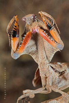 """Dead Leaf mantis by """"Blepharopsis"""" on deviantart. You can always rely on this photographer for AMAZING macro shots of exotic creatures."""