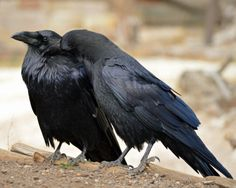 I ♥ Crows - Beard Fixing by Canislupuscorax