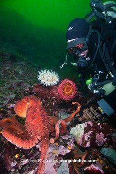 3 Best Dive Sites of the Pacific Northwest - http://aquaviews.net/scuba-dive-destinations/3-dive-sites-pacific-northwest/?utm_source=Pinterest&utm_medium=LeisurePro+Pinterest&utm_campaign=SNAP%2Bfrom%2BAquaviews+-+SCUBA+Blog