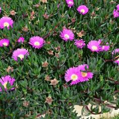 Aussie Rambler is a tough giant flowering native 'Pig Face' that forms a dense cover of sprawling foliage, making it an ideal ground cover plant. Edible Plants, Edible Garden, Planting Succulents, Planting Flowers, Succulent Landscaping, Succulent Names, Garden Mum, Herb Garden, Garden Plants