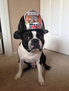 Supporting the Local Fire Dept! - Lou from San Jose, USA (Photo) → http://www.bterrier.com/supporting-the-local-fire-dept-lou-from-san-jose-usa-photo/ - https://www.facebook.com/bterrierdogs