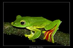 The Malabar gliding frog or Malabar flying frog (Rhacophorus malabaricus) is an endemic moss frog species found in the Western Ghats of India.