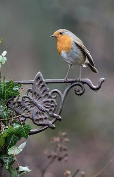 "milascioandare: "" Robin, Erithacus rubecula, single bird on fence, Warwickshire, January 2017 by Mike Lane """